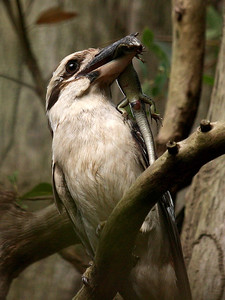 Laughing Kookaburra 050