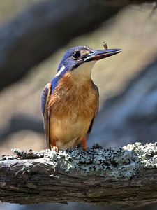 Azure Kingfisher -