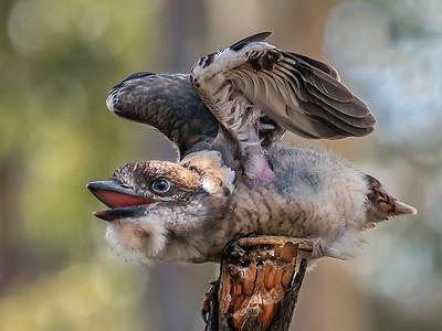 Laughing Kookaburra - Redland