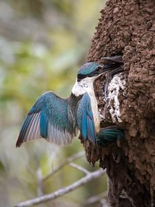 Sacred Kingfisher_1574
