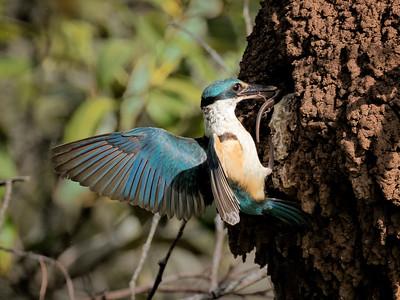 Sacred Kingfisher_1848a