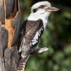 Laughing Kookabura_3514