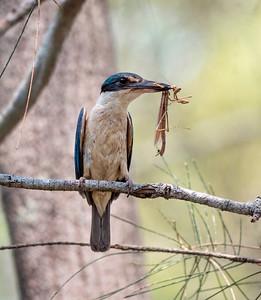 Sacred Kingfisher - 0880