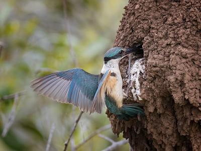 Sacred Kingfisher_1568