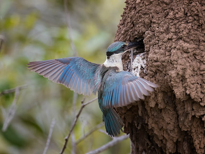 Sacred Kingfisher_1567_2