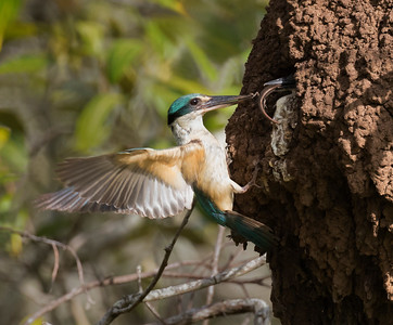 Sacred Kingfisher_1862