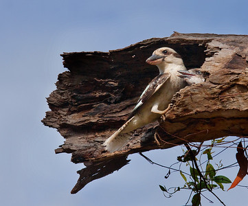 Laughing Kookaburra with chick - 083-3