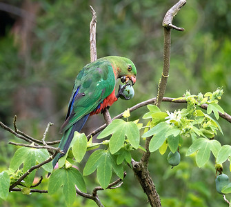 Australian King Parrot, immature male - 2987