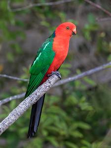 Australian King Parrot - 2910