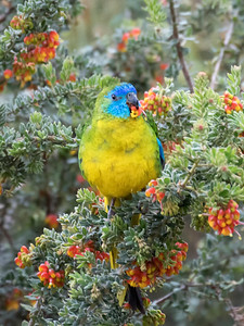 Turquoise Parrot_8259
