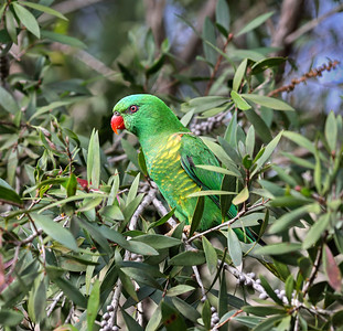 Scaly-breasted Lorikeet - 5067