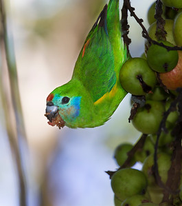 Double-eyed Figparrot,female_3509