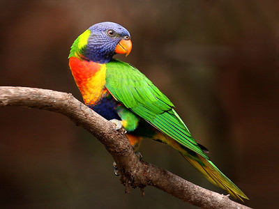Rainbow Lorikeet,immature-086