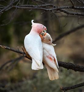 Pink Cockatoo - 4964