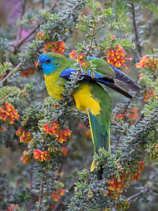 Turquoise Parrot_8252