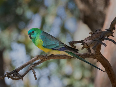 Red-rumped Parrot_9626