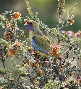 Yellow Rosella_9428