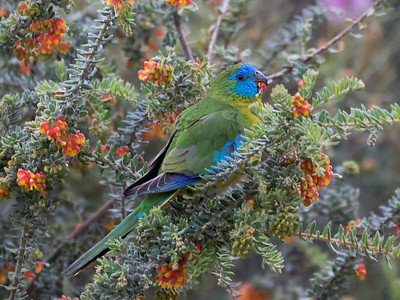 Turquoise Parrot_99A8243