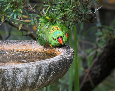 Scaly-breasted Lorikeet - 5686