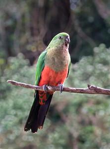 Australian King Parrot,female - 5675