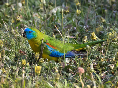 Turquoise Parrot_0655