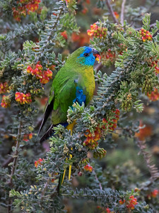 Turquoise Parrot_8229