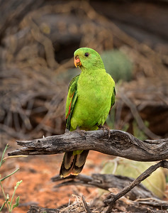 Red-winged Parrot,female - 5150