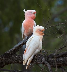 Pink Cockatoo - 5001