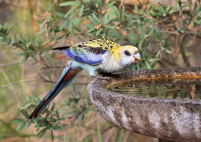 Pale-headed Rosella - 6243