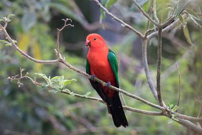 Australian King Parrot,male - 5726