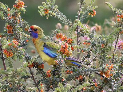 Yellow Rosella_9448
