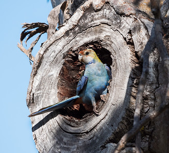 Pale-headed Rosella -5211