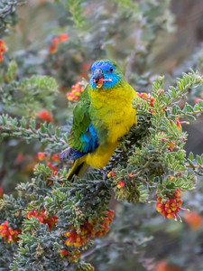 Turquoise Parrot_8270