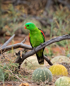 Red-winged Parrot,male - 5141