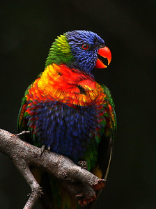 Rainbow Lorikeet, adult