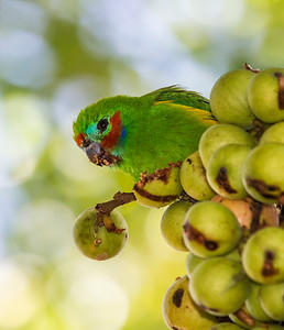 Double-eyed Figparrot,male_3499