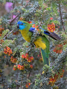 Turquoise Parrot_99A8253