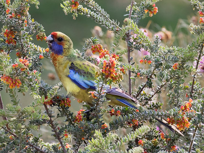 Yellow Rosella._9447