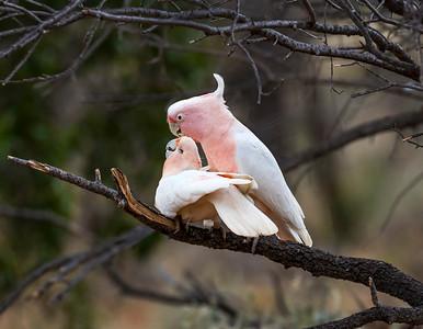 Pink Cockatoo - 4932