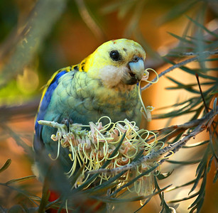 Pale-headed Rosella - 020