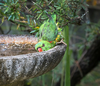 Scaly-breasted Lorikeet - 5695