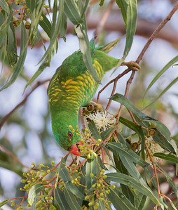 Scaly-breasted Lorikeet - 5372