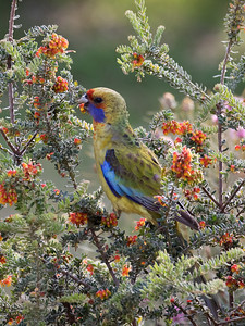 Yellow Rosella_9449
