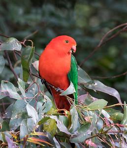 Australian King Parrot - 5740