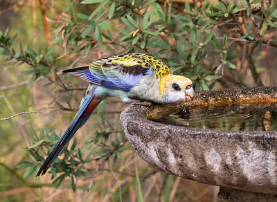 Pale-headed Rosella - 6264