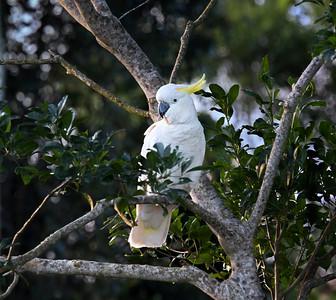 Sulphur-crested Cockatoo - 6912