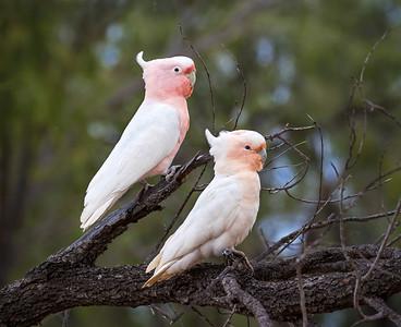 Pink Cockatoo - 5002