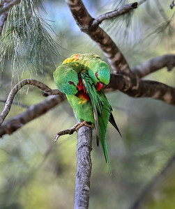 Scaly-breasted Lorikeet - 3840