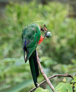 Australian King Parrot,immature male - 2971