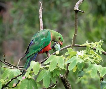 Australian King Parrot, immature male - 2995